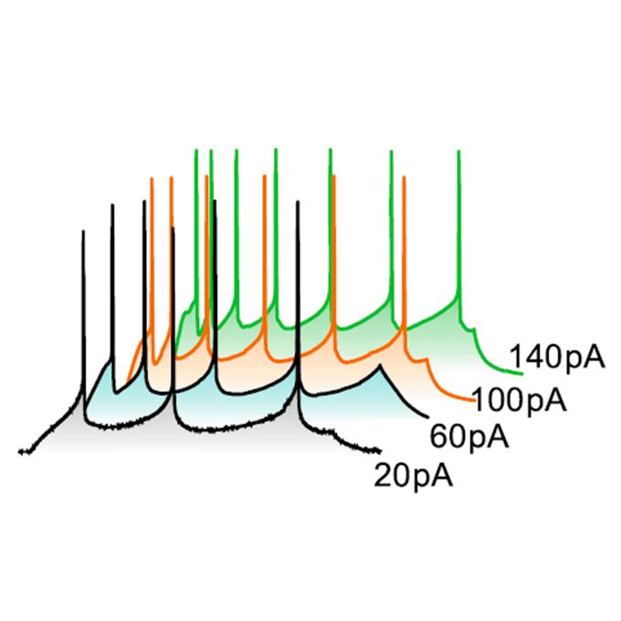 双極性障害の原因神経回路の研究